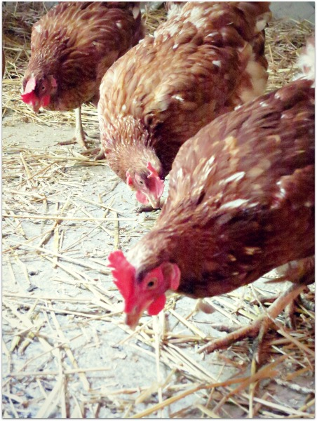 Mothers day hens 038