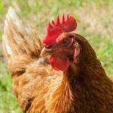 Image result for cinnamon queen chickens temperament